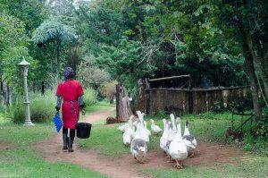 staff-feeding-geese