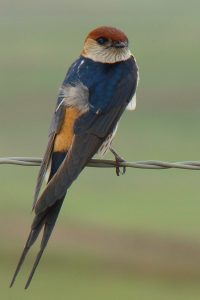Drakensberg birding - Lesser striped swallow