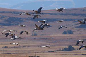 Blue Ccrane flock in flight