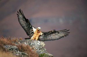 Bearded Vulture (Lammergeier) at Giants Castle
