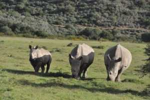 White Rhino in Weenen Game Reseve